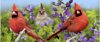 Summer cardinals with wild indigo