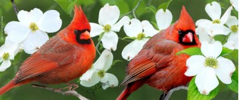 Northern Cardinals with Flowering Dogwood