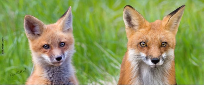 Red fox adult and pup