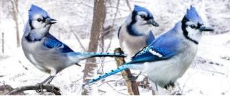 Blue jays in snow