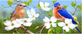 Eastern Bluebird Pair with Flowering Dogwood