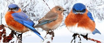 Bluebirds in snow