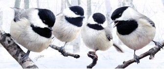 Chickadees in snow
