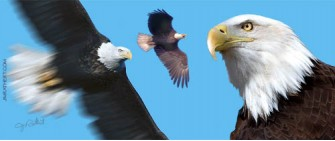Bald eagle adults