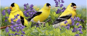 Summer male goldfinches with wild indigo