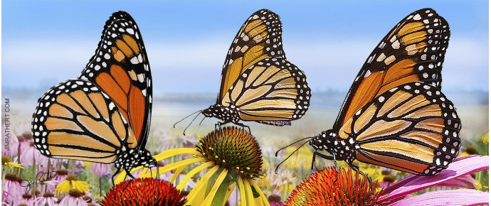 Monarch Butterflies on Coneflowers with blue sky