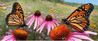 Monarch butterflies on coneflowers