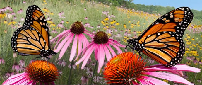 Monarch butterflies on coneflowers