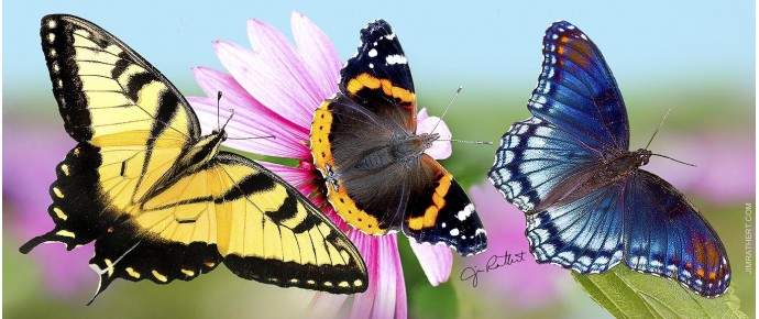 Red-spotted, red admiral and tiger swallowtail butterflies