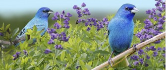 Summer indigo buntings with wild indigo