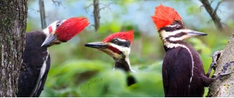 Pileated woodpeckers in summer forest