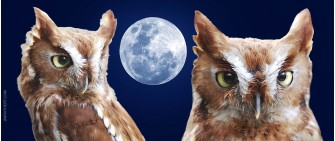 Screech Owls with Moon