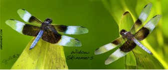 Widow skimmer dragonflies