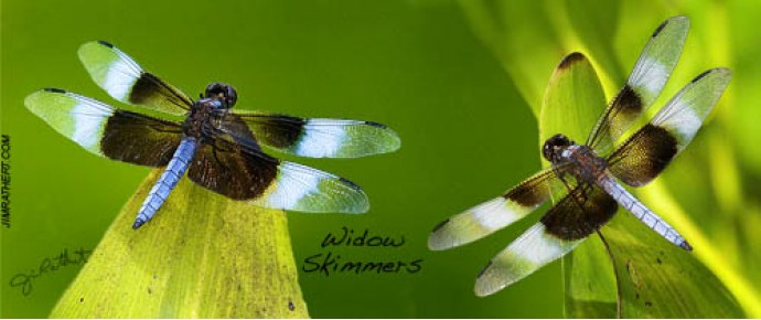 Widow skimmer dragonflies