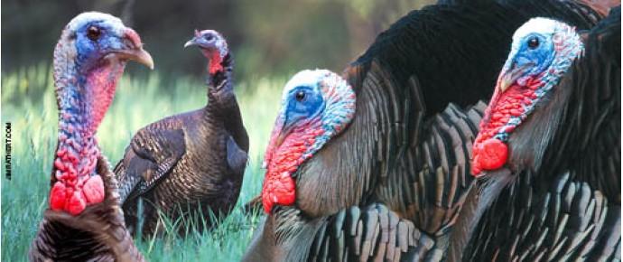 Wild turkey males in Springtime