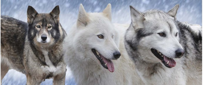 Timber wolves in snow