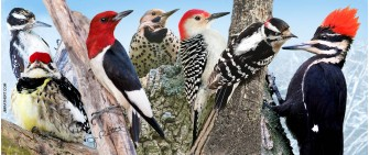 Woodpeckers of eastern US